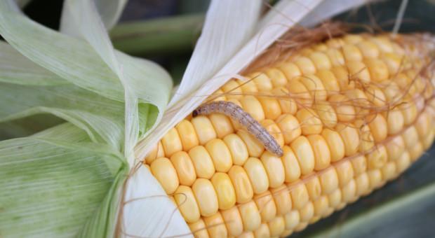Nowe szkodniki, nowe zagrożenia - w uprawie zbóż i kukurydzy