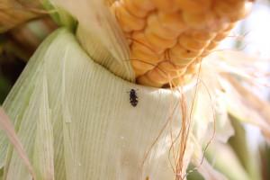 Urazek kukurydziany wUSA żeruje na 20 gatunkach roślin. WPolsce wuprawach żeruje: kukurydzy, cukinii, truskawek, jagody goji, winorośli, malin, jabłek, gruszek, śliwek ipomidorów