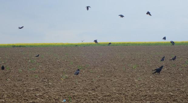 Ptaki w kukurydzy mogą doprowadzić do konieczności przesiewów