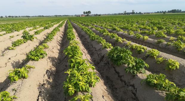 Problemy z ochroną ziemniaka