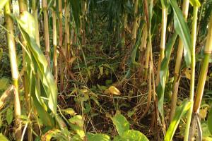 Kukurydza w strip-tillu w towarzystwie soi