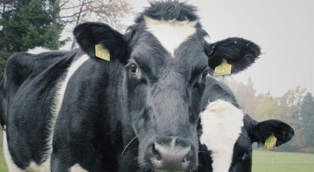 Zdziesiątkowane stado wolnych krów?