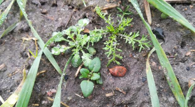Herbicyd zbożowy z szerokim oknem aplikacji