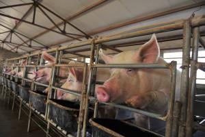Najwięksi światowi producenci wyprodukowali prawie 2,55 mln ton świń