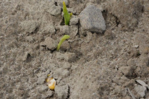 Przez Innowacyjność do Sukcesu Online: Bądź przygotowany na siew kukurydzy