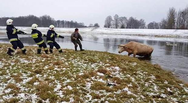 Wyciągali krowę z Warty
