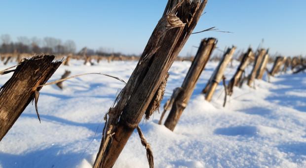 Czy wiosną rozdrobnić ściernisko kukurydziane?