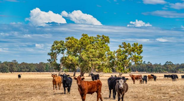 Załamanie się australijskiego eksportu wołowiny