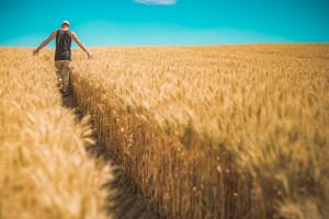 GUS: Zbiory zbóż będą w tym roku dużo mniejsze, ale więcej będzie rzepaku