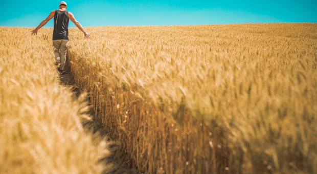 Podrożały wszystkie gatunki zbóż. Cena jęczmienia i pszenżyta do 800 zł/t