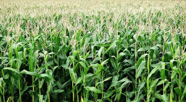 Konferencje Zimowe Syngenta - kukurydza