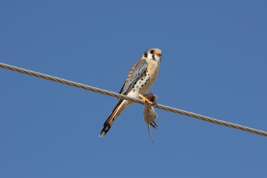 Drapieżne ptaki - sprzymierzeńcy w walce z gryzoniami