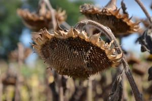 Plony słonecznika na Ukrainie nawet 2,5 razy wyższe