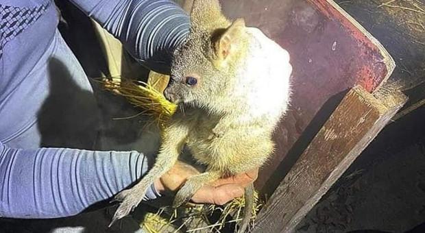 Strażacy ratowali małe kangury