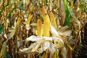 Poszerza się wykaz zakazanej w uprawie kukurydzy MON 810
