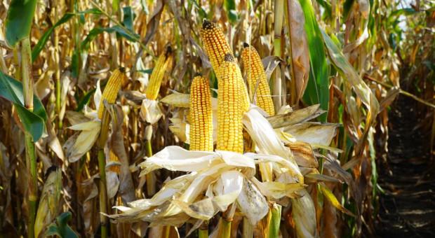 Aż 33 nowości odmianowych w kukurydzy