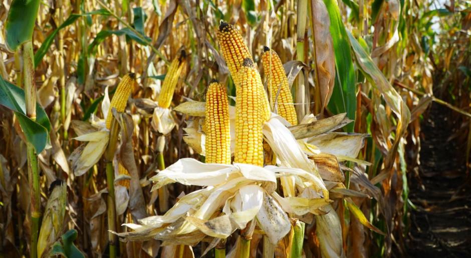Kukurydza ziarnowa polecana w 2021 r.