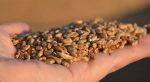 Czy na polskim rynku brakuje pszenicy? Kukurydza po 1000 zł