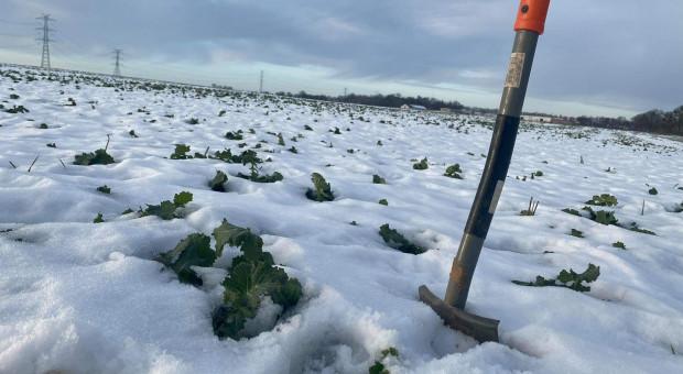 Prof. Potarzycki na PIdS Online: Jak poprowadzić tegoroczne plantacje rzepaku ozimego?