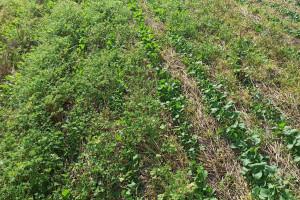 PIdS Online: Zwalczanie chwastów w uprawie pasowej