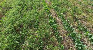 Przez Innowacyjność do Sukcesu Online: Zwalczanie chwastów w uprawie pasowej