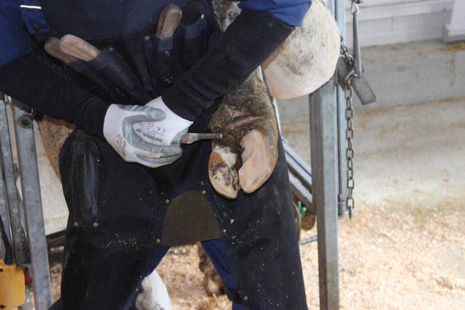 Wiosenna korekcja racic jest jednym zważniejszych zabiegów przygotowujących zwierzęta do sezonu pastwiskowego