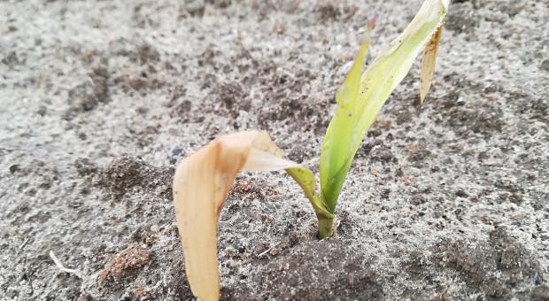 Od jakich ryzyk warto ubezpieczyć kukurydzę?