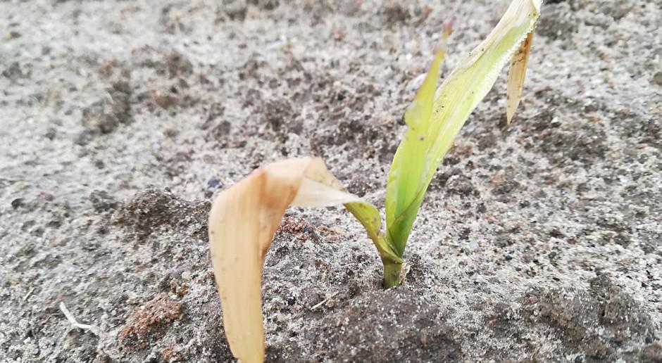 PIdS Online: Od jakich ryzyk warto ubezpieczyć kukurydzę?
