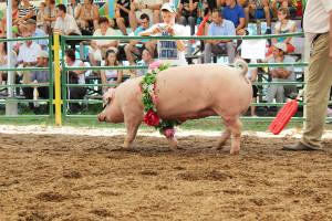 Trudny czas dla polskiej hodowli świń