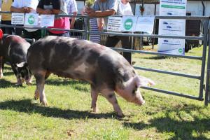 Świnie puławskie to jedna zras wpisanych na Listę Produktów Tradycyjnych. Ich mięso zpowodzeniem  jest sprzedawane wsieci Auchan, fot. I.Dyba