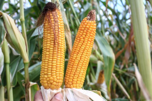 Odmiana kluczowym elementem wuprawie kukurydzy