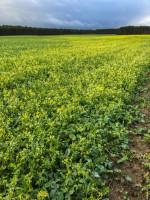 Brak interwencji chwastobójczej jesienią osłabia rzepak iwskrajnych przypadkach może przyczynić się do znaczącej redukcji plonu
