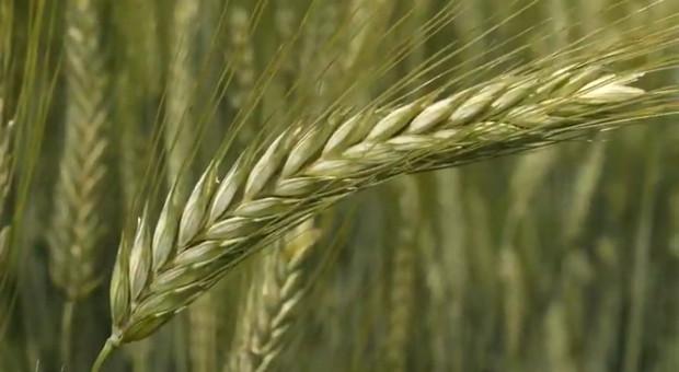 Za pszenicę na Pomorzu wciąż oferują najwięcej