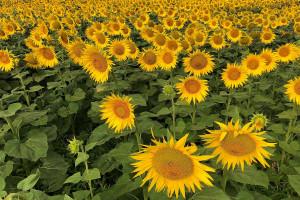 Rolnicy chcą objęcia upraw słonecznika płatnością do roślin wysokobiałkowych