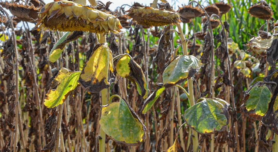 Słonecznik na topie - jaka oferta odmian