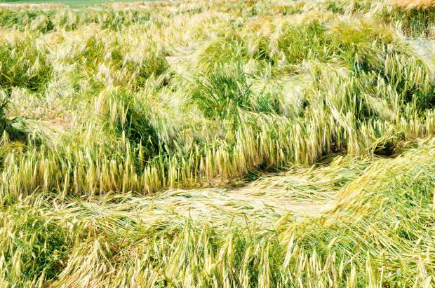 Regulatory wzrostu zbóż ozimych