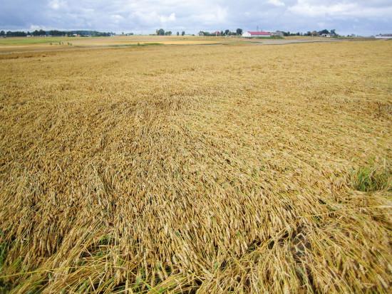 Agrotechniczne zapobieganie wyleganiu zbóż