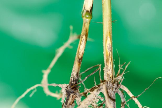 Jak zwalczać choroby odgrzybowezrodzaju Fusarium?