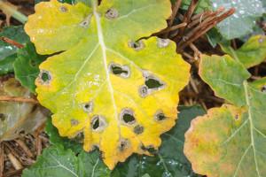 Sucha zgnilizna kapustnych (sprawca: Leptosphaeria maculans)