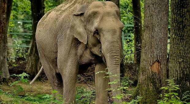 Indie: Dwóch poganiaczy aresztowanych za atak na słonia