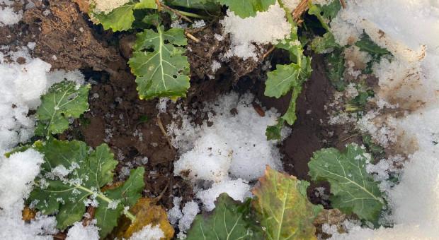 Czy zmiana pogody zaszkodzi plantacjom rzepaku? Dziś na PIdS Online