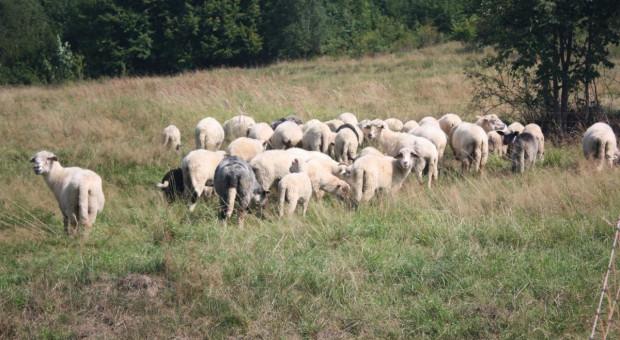 W gospodarstwie padły 24 owce. Zarzuty za znęcanie się nad zwierzętami