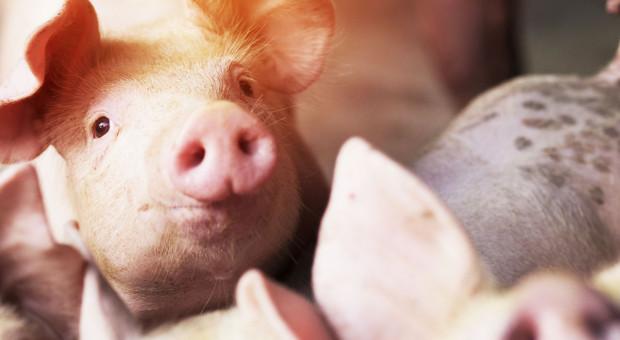 Dlaczego jesteśmy nieefektywni w produkcji świń?