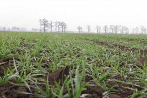 PIdS Online: Jakich problemów możemy spodziewać się wiosną 2021 w uprawach zbóż?