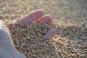 """Fundusze spekulacyjne """"ciągną"""" cenę zbóż w górę"""