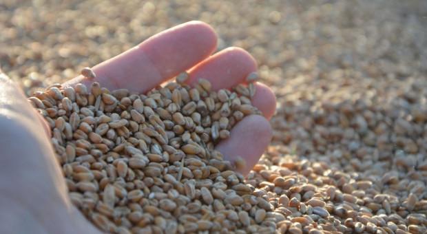 Pszenica w dół. Ceny zbóż delikatnie spadają