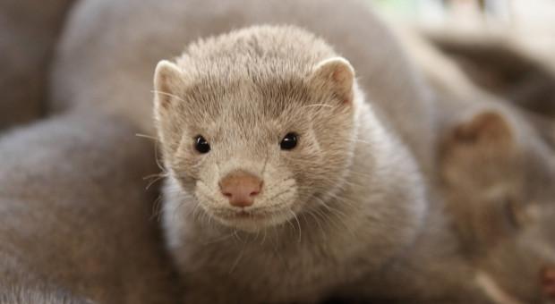 KRIR: COVID-19 u zwierząt futerkowych - kredyt zamiast odszkodowania