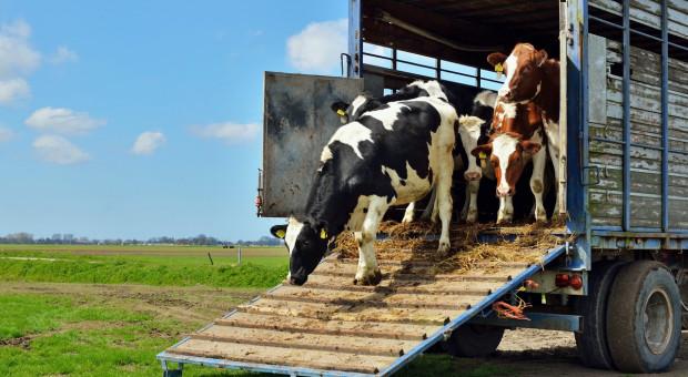 Posłowie do PE są ideologicznie uprzedzeni do transportu żywych zwierząt?