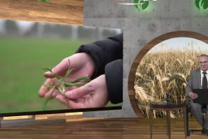 Stan pszenicy ozimej - jednolita agrotechnika byłaby błędem