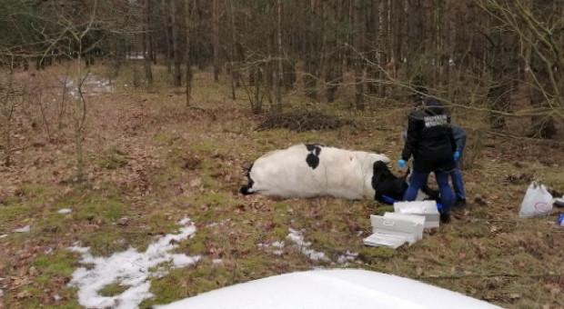 Leśnik odstrzelił agresywnego byka, który prawdopodobnie zabił właściciela
